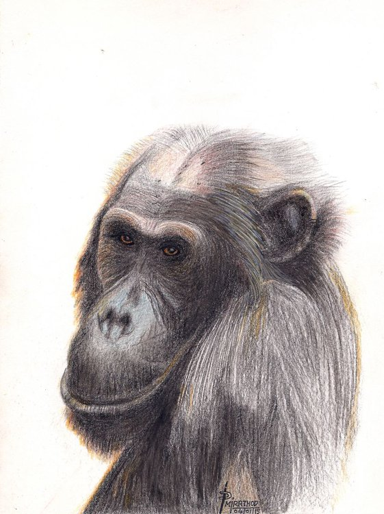 chimpanzee pencil drawing by mahendra rathod artfinder