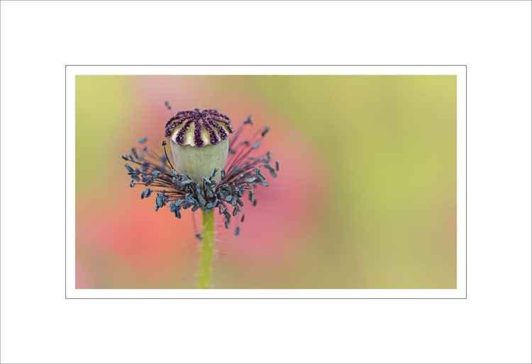 poppy seed head -
