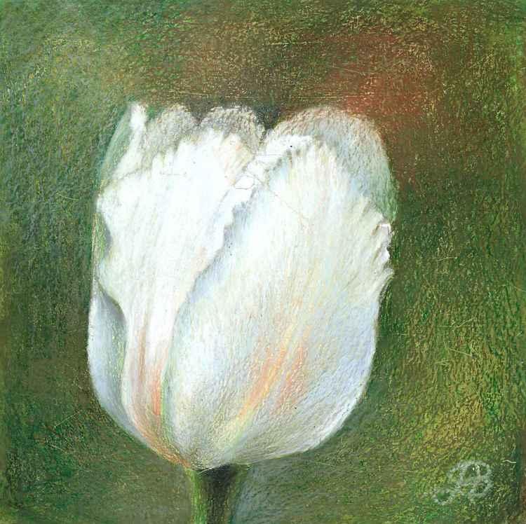 white tulipe