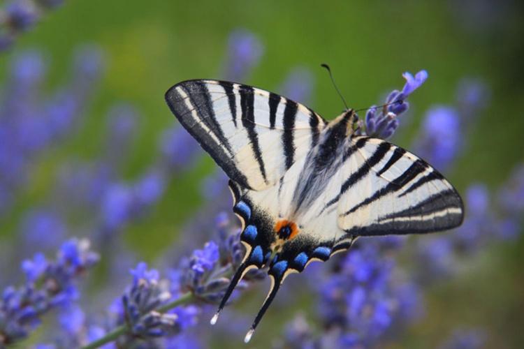 Swallowtail No. 5 - Image 0