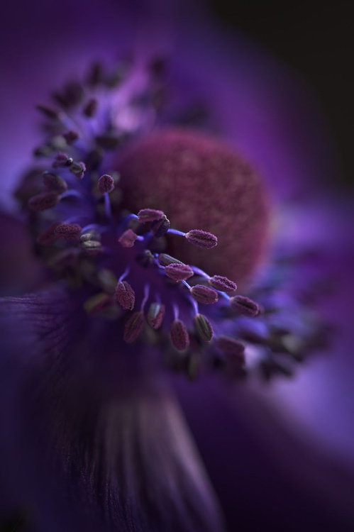 Anemone - Image 0