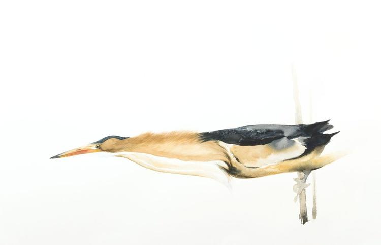 Little Bittern (Ixobrychus minutus) - Image 0