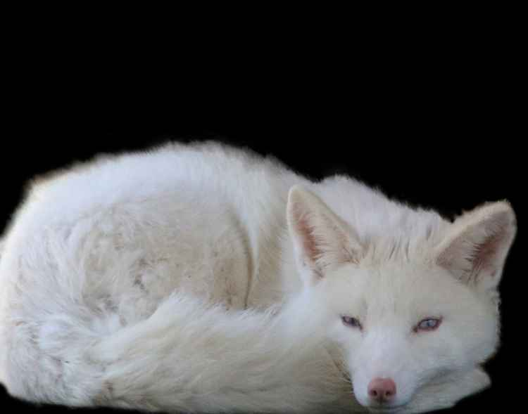 Albino Red Fox -