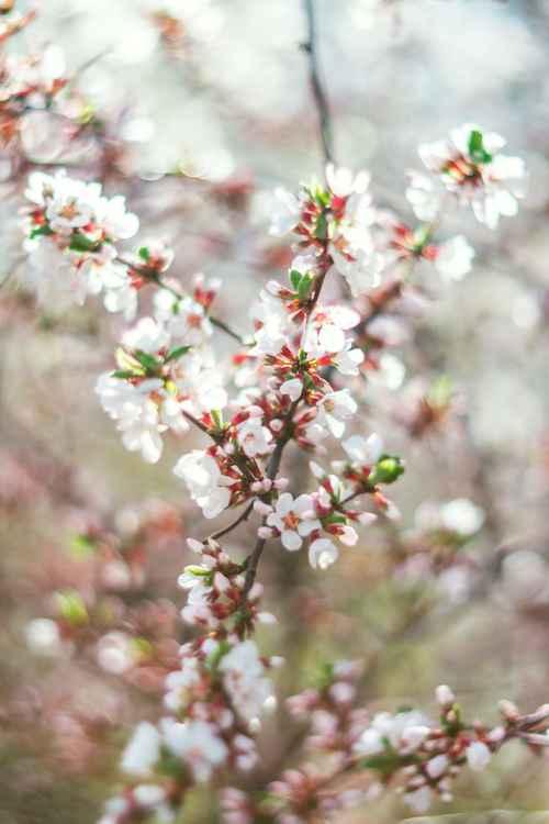 Cherry Blossom VIII, 2016