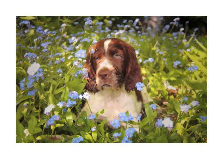 Spaniel Pup in flowers -