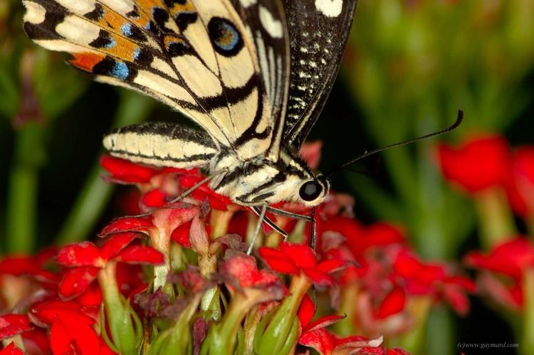 The asian butterfly - Image 0