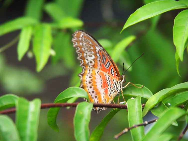 Leopard Lacewing -