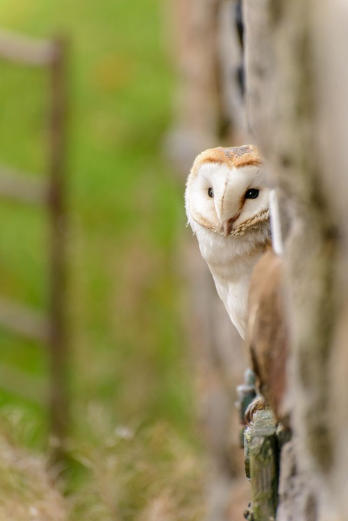 Peeping Barn Owl  - Limited Edition Print - Image 0