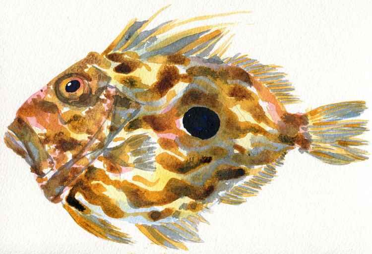 John Dory Fish Watercolour -