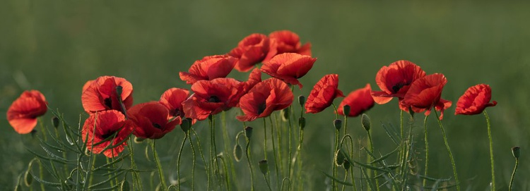 Red Poppy Flowers - Image 0