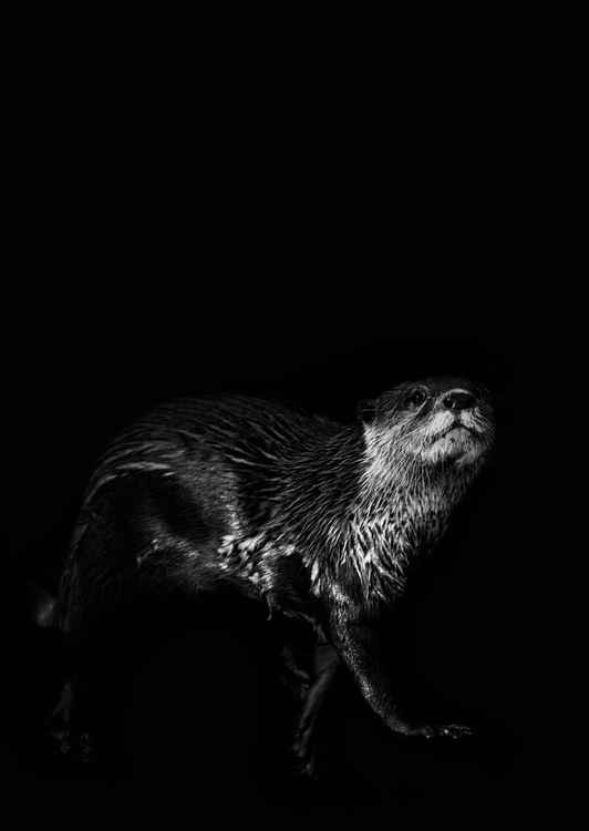 Otter walking into the frame -