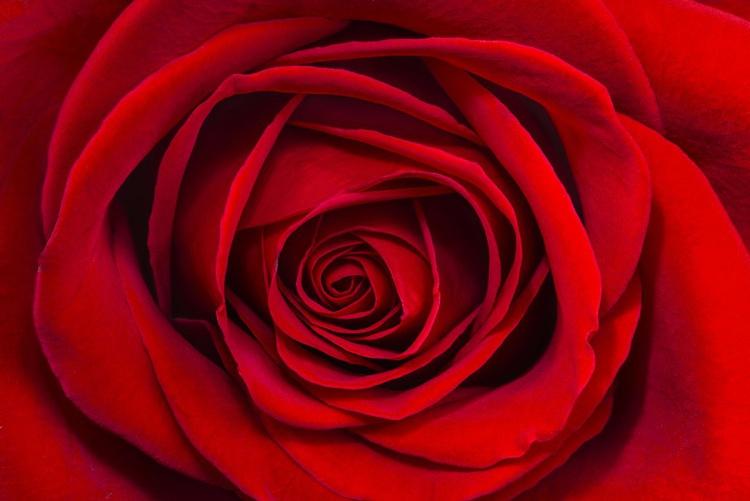 Rose Face - Image 0