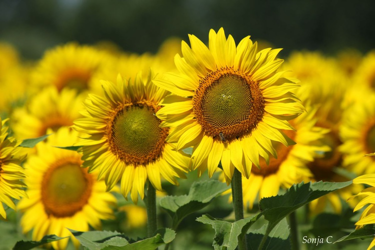 Sunflowers in the field - Image 0