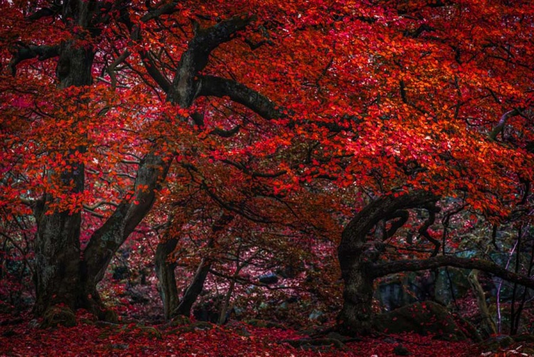 The Red Forest - Limited Edition Print - Image 0