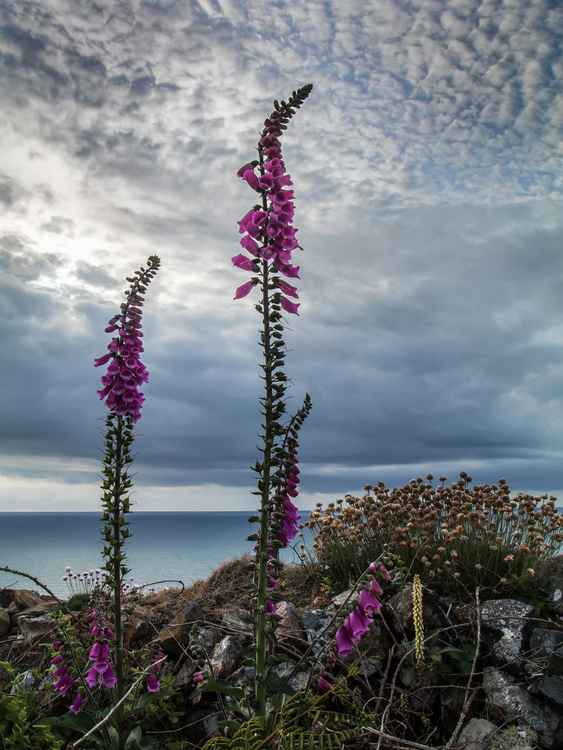 Atlantic Foxgloves -
