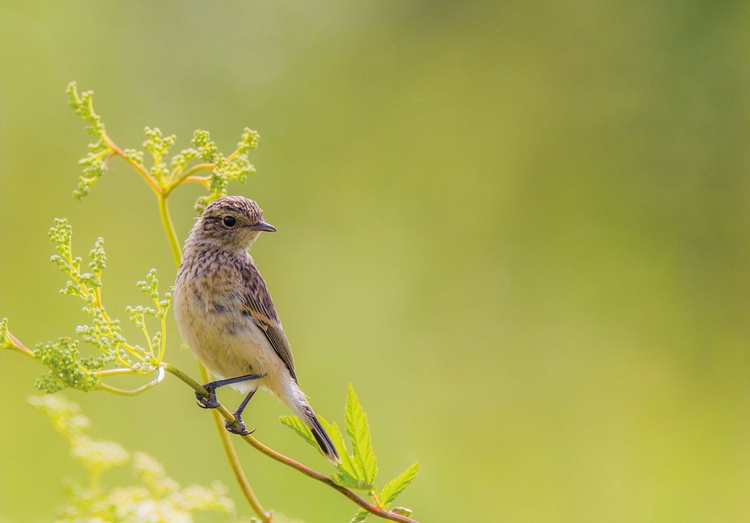 Young stonechat - Image 0