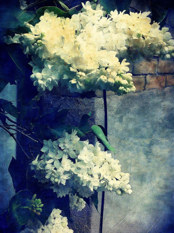 White Lilacs on a Wall - Image 0