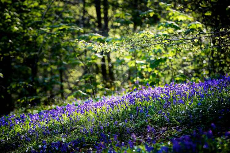 Bluebells in Evening Light, Wenallt, Cardiff (2) -