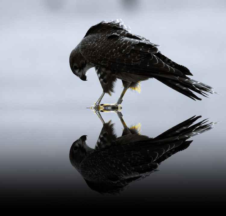 Falcon Reflection -