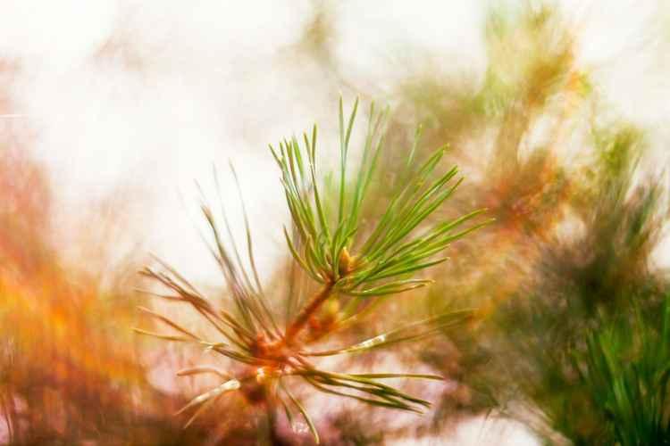 Evening pine