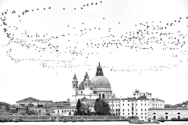 Murmurating Cormorants in Venice