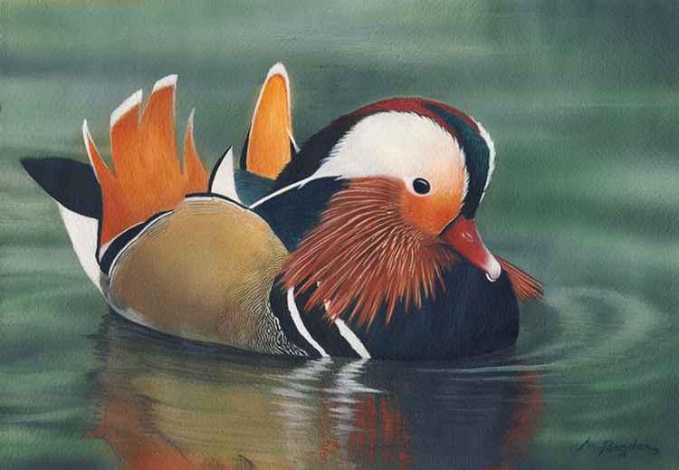 Mandarin duck -