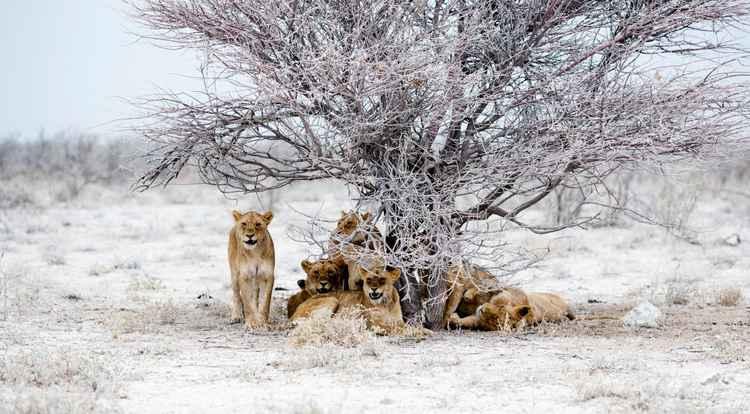 Lioness Pride -