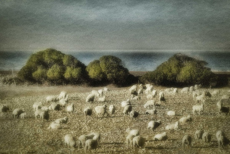 Sheep by the Sea, New Zealand - Image 0