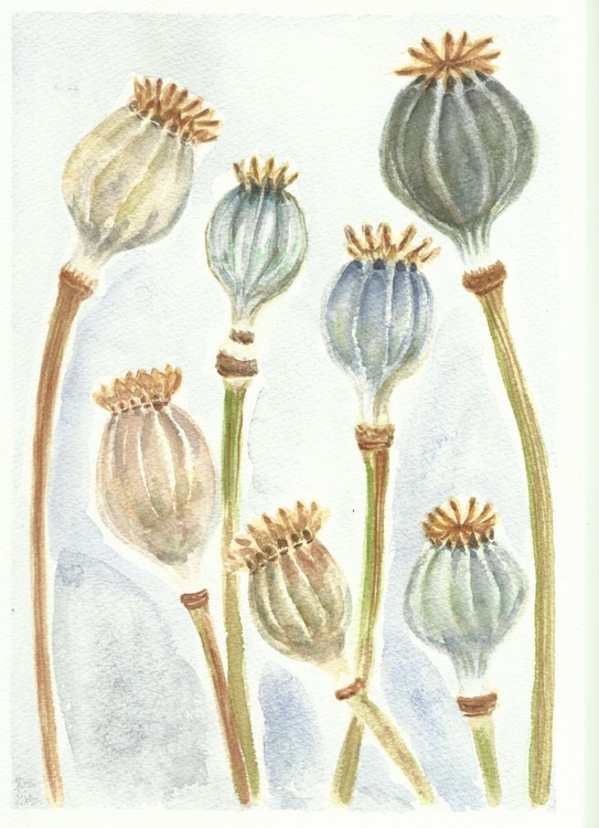 Seedpods of Poppies - Image 0