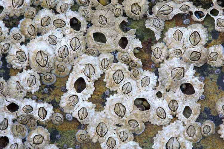 Barnacles on a reef