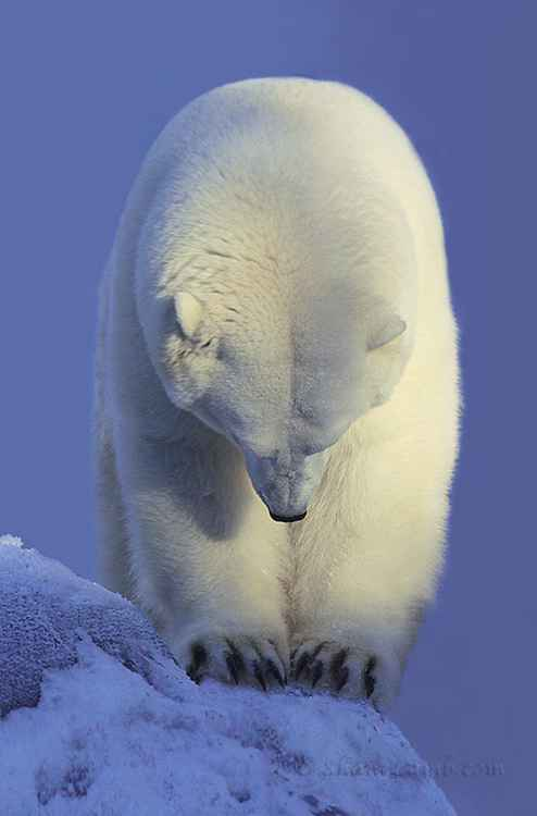 Contemplation Polar Bear -