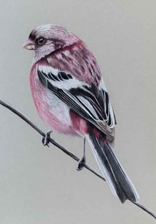 "Original pastel drawing ""Long-tailed rosefinch"" -"