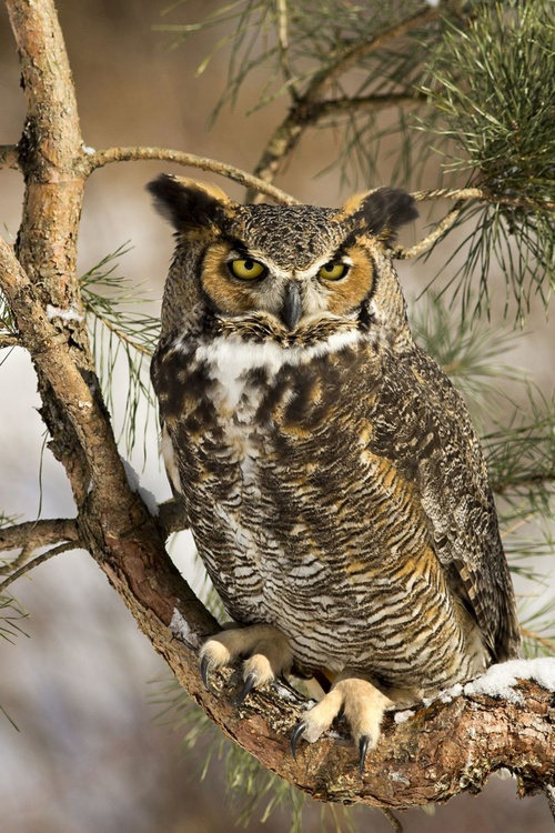 Great Horned Owl - Image 0