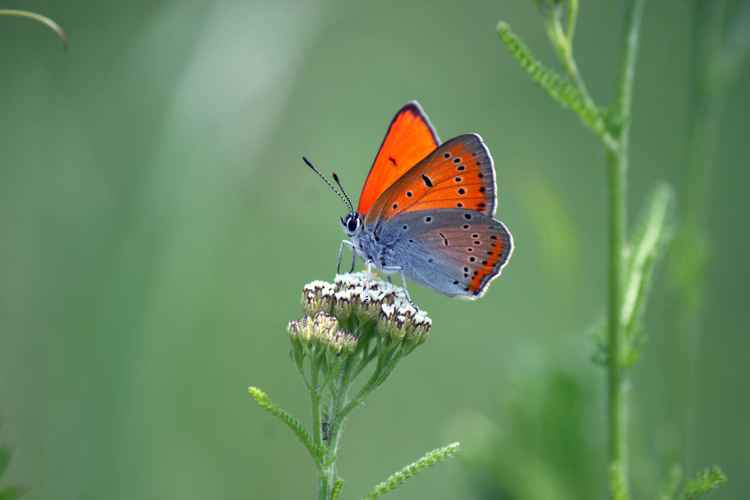 Orange butterfly -