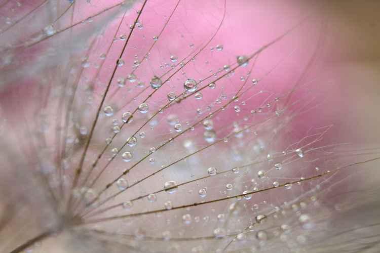 Dandelion rhapsody