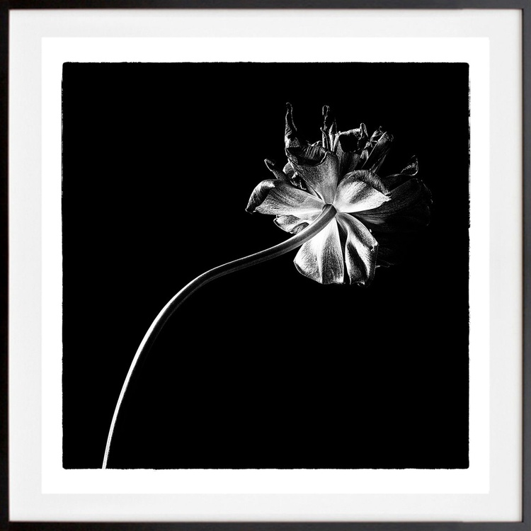 Black tulips I, 1/25, Limited edition - Image 0