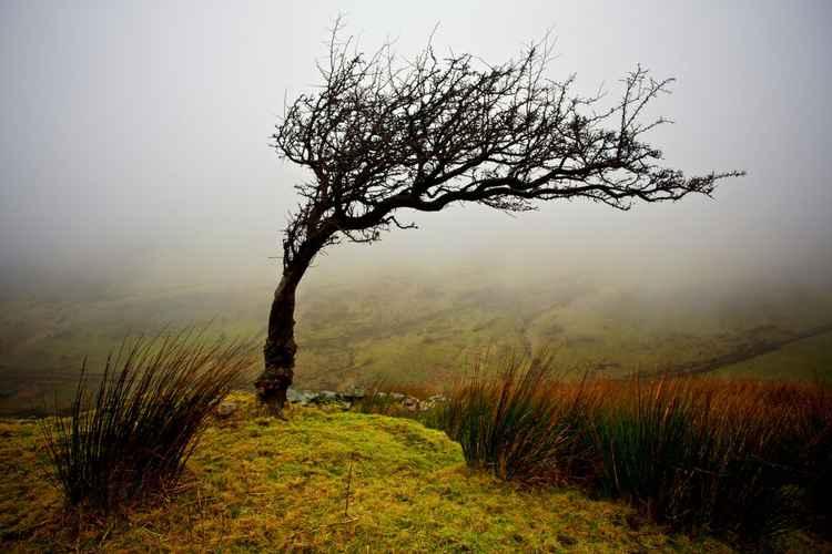 Lone Hawthorn, Nantlle Vale, Snowdonia -