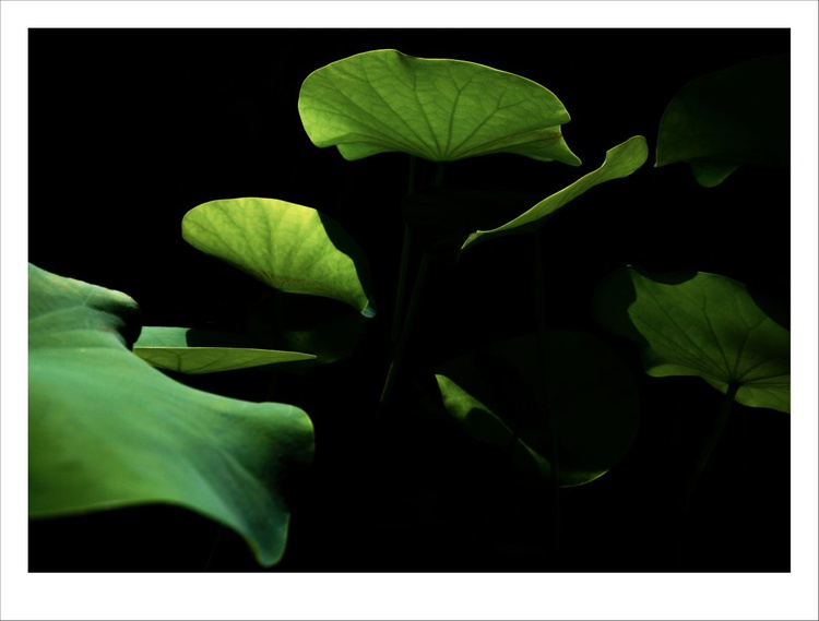 Lotus in Light and Shadow. - Image 0