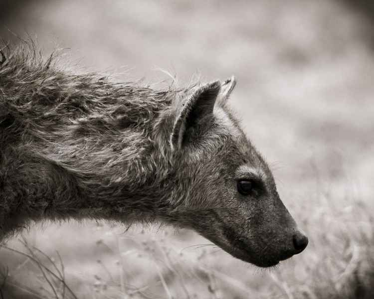 NGORO HYENA LIMITED EDITION 3/20 -