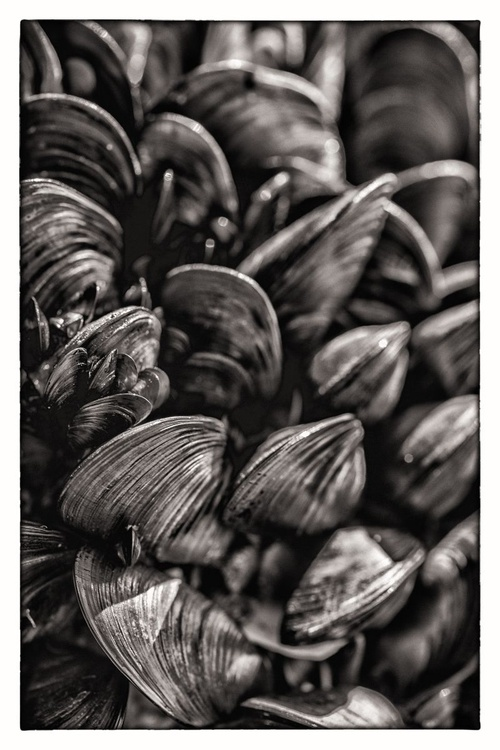 Pulling Mussels from a Shell - Image 0