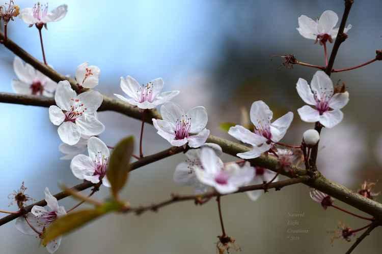 """"""" Spring Blossom Dream """" -"""