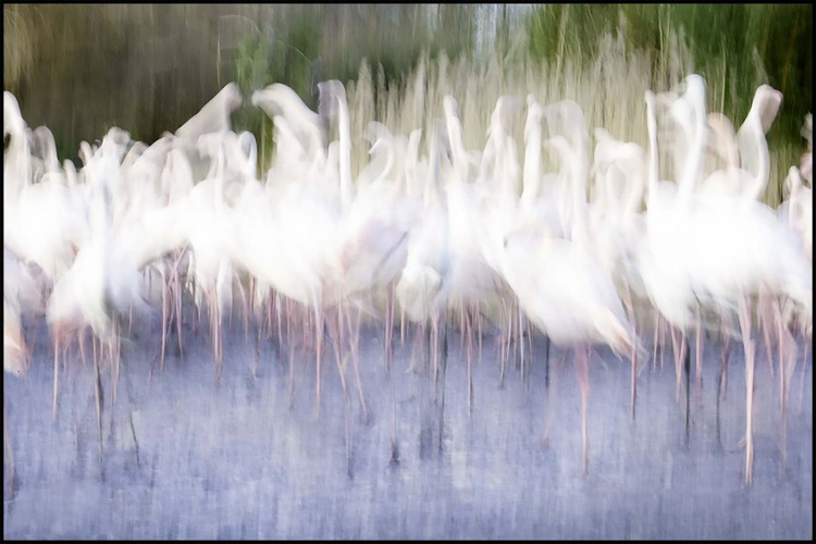 Flamingoes - Image 0