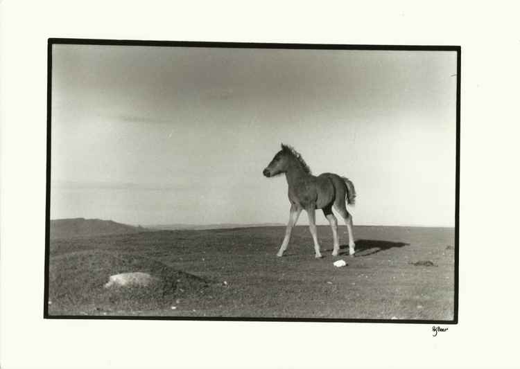 1985-89 Archive 011 Dartmoor Pony -