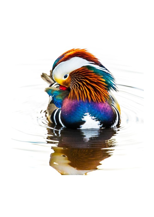 Magnificent Mandarin - Image 0