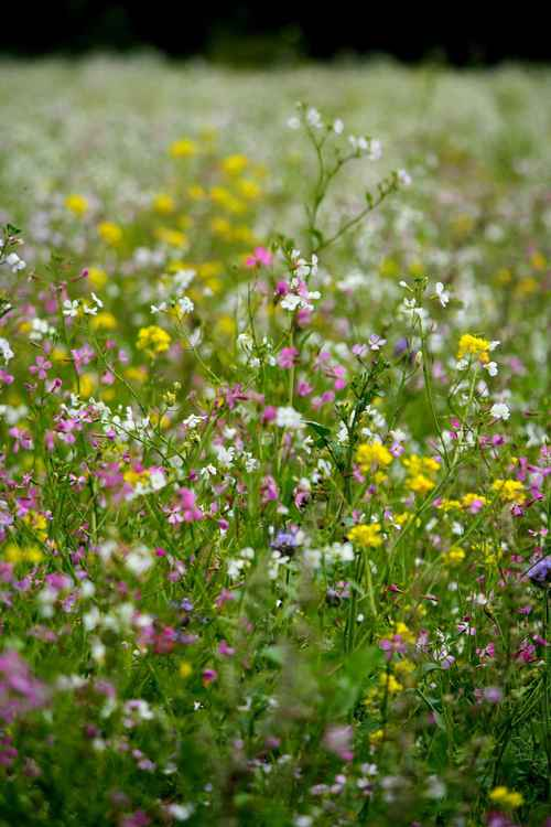 WILDFLOWER MEADOW 3.