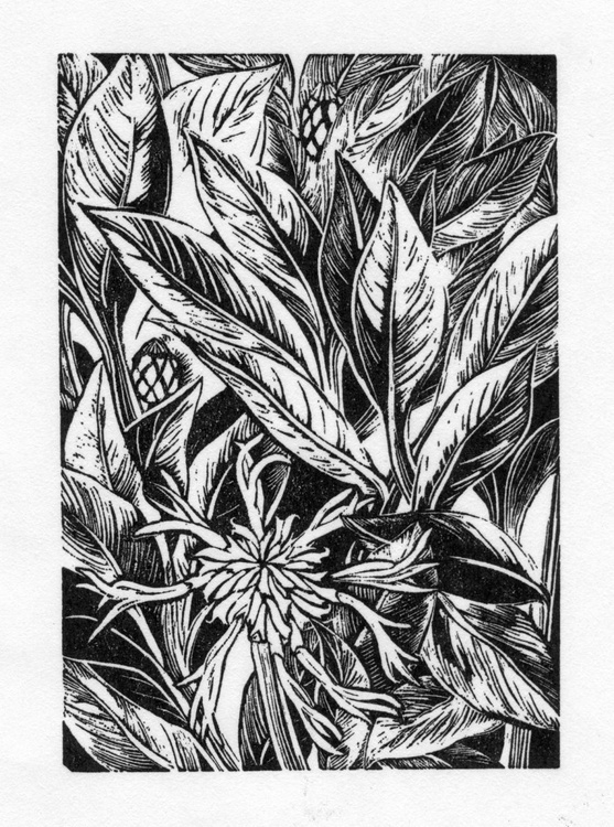 'Centaurea montana' - Image 0