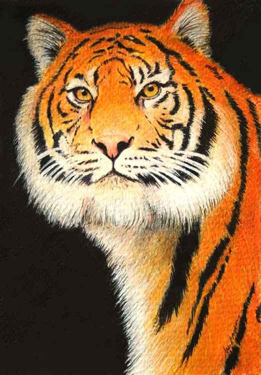 Siberian tiger -