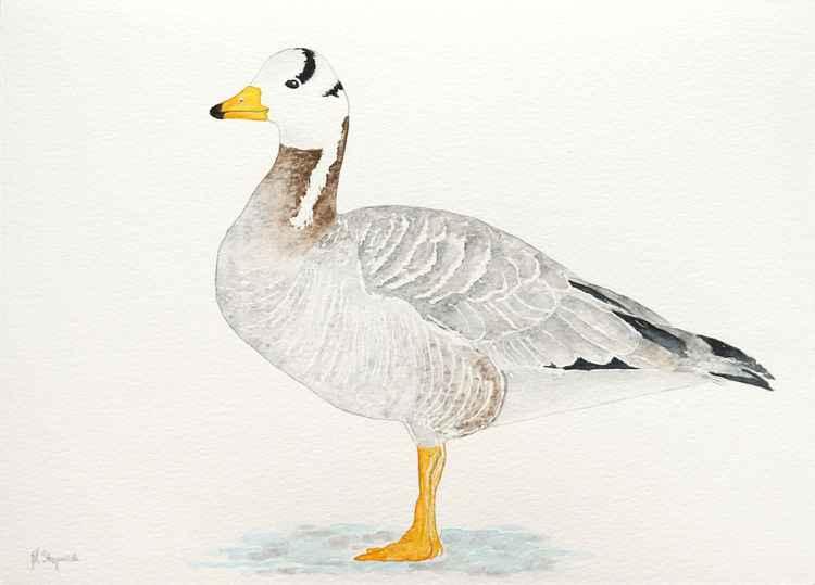 The bar-headed goose (Anser indicus) -