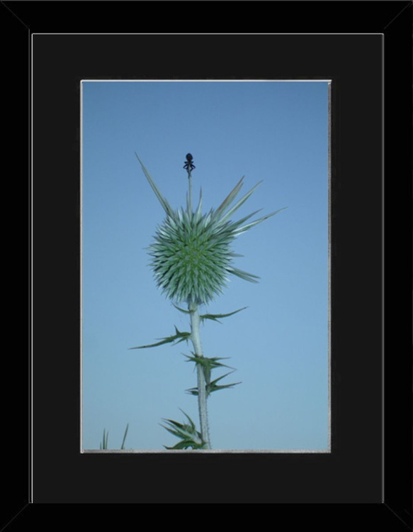 Meditation On A Cyprus Thistle - Cyprus - Framed - Image 0