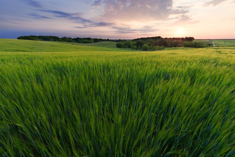 Sunrise Over The Rye Field - Image 0